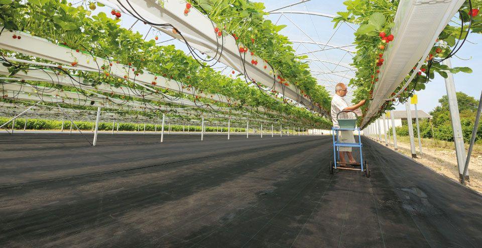 Serre pour culture de tomate hors sol